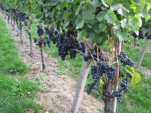 Weinwandertag 2015 (1)